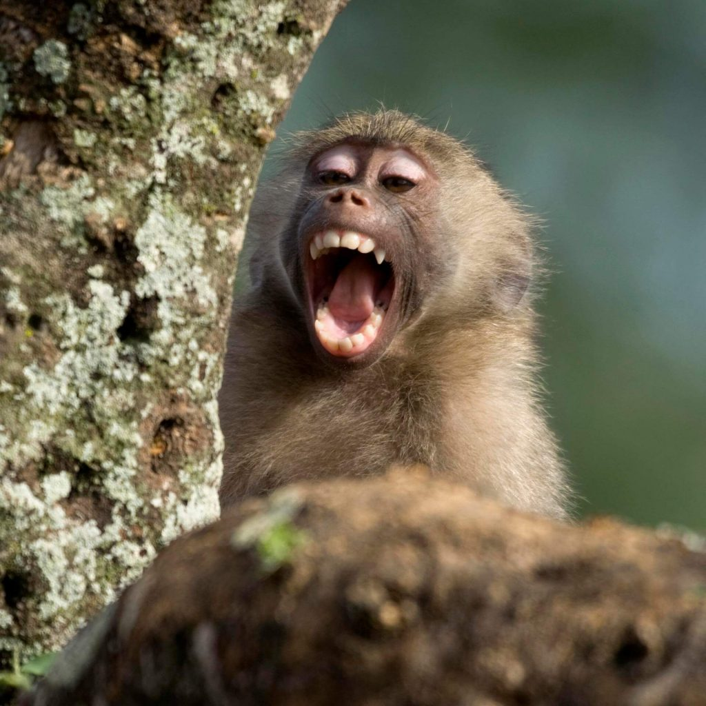 Здрави зъби на маймуна - Медика 3 Дент